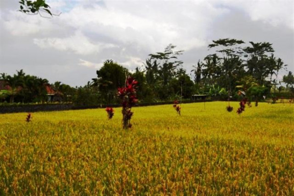 Land in Ubud Center 24 are beautiful rice fields view @ USD 16.300 – TJUB011