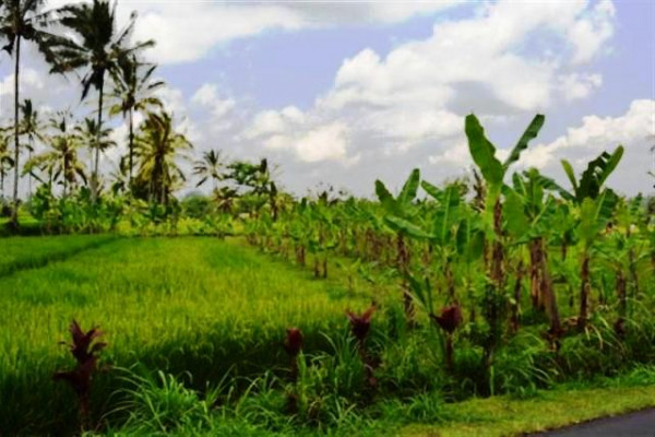 land for sale in Ubud 20 are at Payangan Buahan – TJUB002