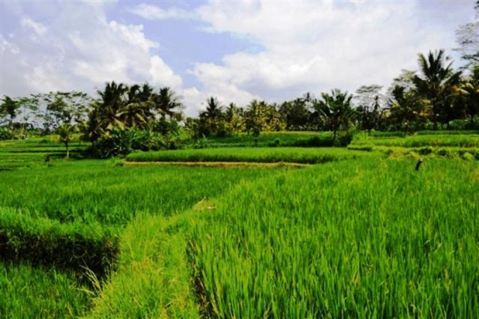 LAND FOR SALE IN UBUD WITH VIEW IN RICE – TJUB046