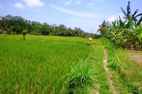 Roadside Rice fields land for sale in Ubud – TJUB120