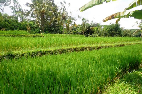 Land for sale in Ubud with rice field View in Tegalalang – TJUB128