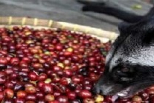 LUWAK COFFEE a UNIQUE BALI AGROTOURISM