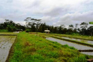 LAND IN Ubud, 35 ARES IN RICE WITH VIEW Sanding @ Rp 57 Mill / m2 – TJUB022