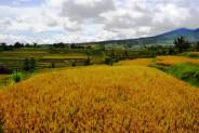 land for sale in Tabanan mountain view in Jatiluwih – TJTB003