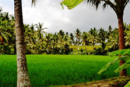 Rice fields land for sale in Ubud Bali – TJUB036