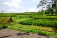 Stunning View rice fields land for sale in Tegalalang Ubud by the Roadside.