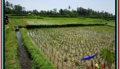 UBUD BALI 2,000 m2 LAND FOR SALE TJUB529