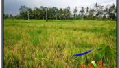 Affordable PROPERTY Ubud Pejeng 850 m2 LAND FOR SALE TJUB583