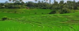 PUPUAN RICE TERRACE at WEST BALI